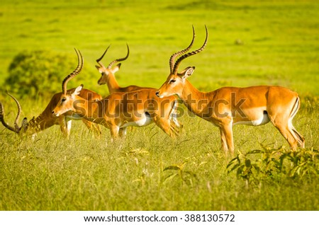Impalas on plain, Masai Mara National Reserve, Kenya - stock photo