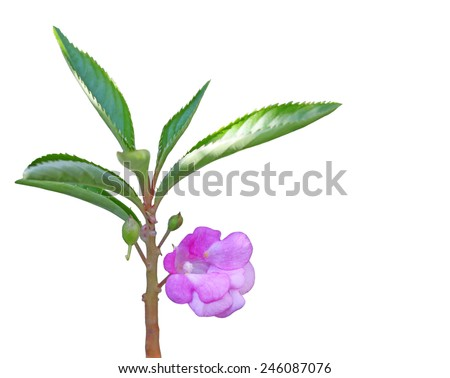 Impatiens balsamina (garden balsam, garden jewelweed, rose balsam, touch-me-not) flower - stock photo