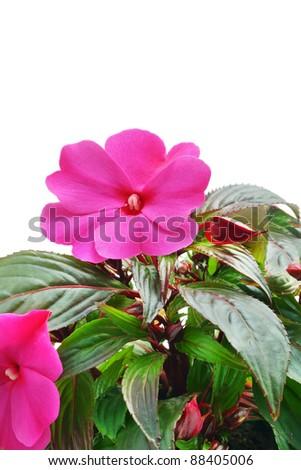 Impatiens flower - stock photo