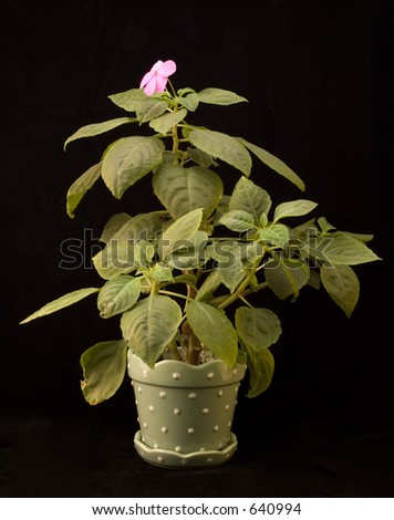 Impatiens plant in a polka dot planter, on a black background.