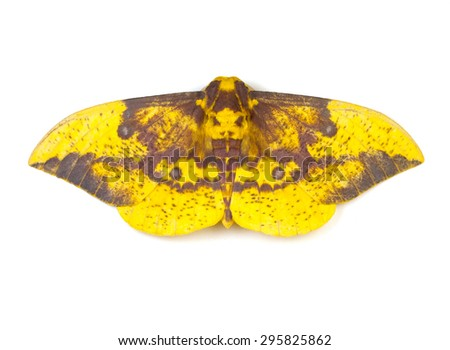 Imperial Moth (Eacles imperialis) on a white background - stock photo