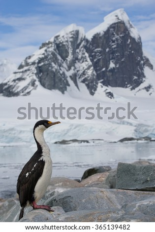 Imperial shag sitting on the rock with rocky mountain in the background and blue sky, Antarctic Peninsula, Antarctica