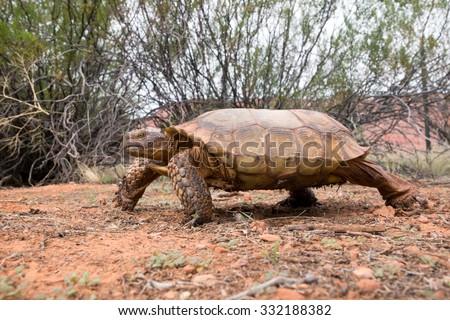 Important Running  desert tortoises (Gopherus agassizii and Gopherus morafkai). Snow Canyon State Park, Utah  - stock photo