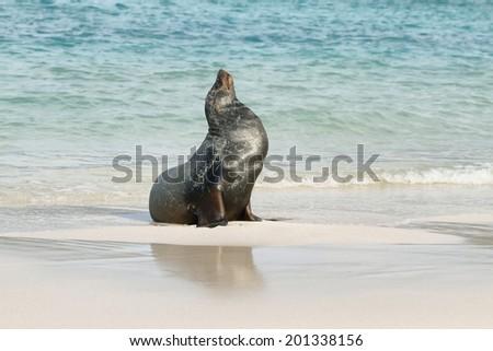 Imposing male of Sea Lion on the sand in Santa Fe island, Galapagos, Ecuador - stock photo
