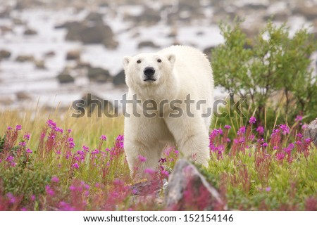 Impressive Canadian polar bear standing in between fireweed plants of the arctic tundra close to Churchill, Manitoba - stock photo