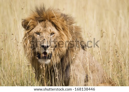 Impressive male lion in high grass, Serengeti National Park, Tanzania, Southeast Africa - stock photo