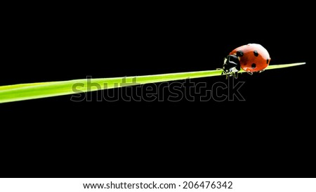 Impressive nature close-up of a small ladybug walking on a blade of green grass, with copy space on black. - stock photo