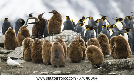 In a crowded colony, the rock these two King Penguin (Oakum Boy) chicks fight over a place on rock with a view. Taken at St. Andrews Bay, South Georgia. - stock photo