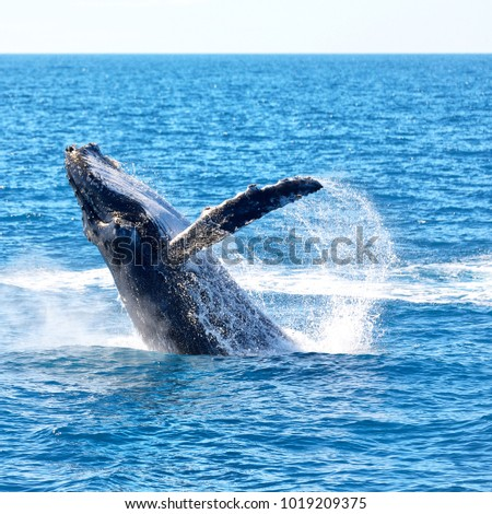 Australia free whale ocean like concept stock photo 1019209375 in australia a free whale in the ocean like concept of freedom voltagebd Gallery