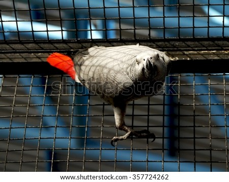 In Birdcage, The African Grey - stock photo