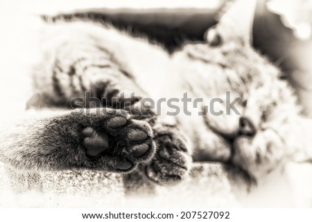 In foreground focus on the hind paw of an adult tabby cat sleeping lengthened on a low wall. Black and white fine art portrait of domestic cat. - stock photo