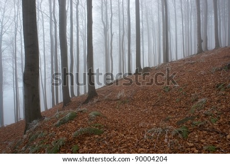 In frosty beechwood with fog in backcloth - stock photo