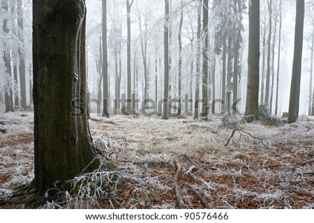 In frosty beechwood with fog in backcloth. - stock photo