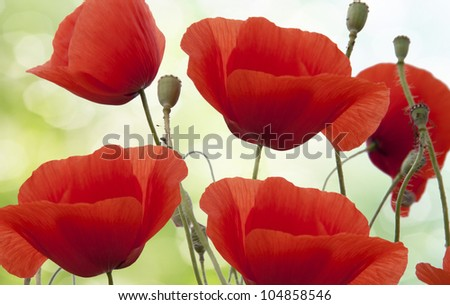 In poppies field. Nature composition. - stock photo