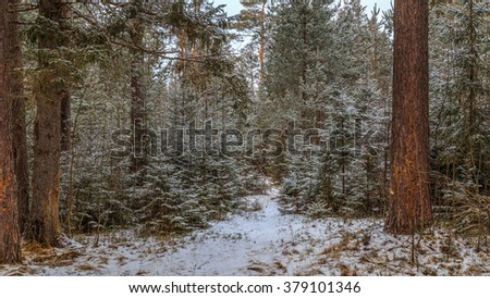 In the coniferous forest winter begins
