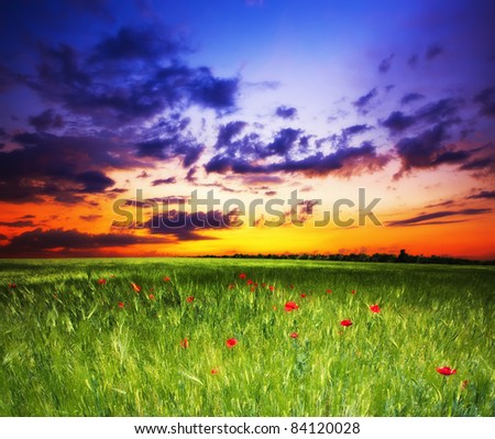 in the evening in the field of green ears - stock photo