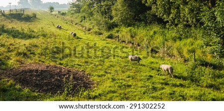 In the low morning sun the sheep walking behind each other on the grass between the dike and the electric fence wire. - stock photo