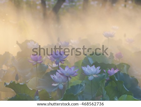 In the morning, the sun to the lotus flowers.