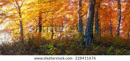 In the panorama Transcarpathian Ukraine Carpathian mountains on the background autumn beech forests fantastically beautiful - magical scenic color wild forests in natural reserves and pleasing delight - stock photo