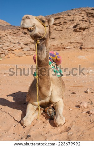 in the sand of the Sahara desert sitting camel ruminating and showing his teeth, Egypt, Africa - stock photo