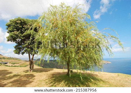 In the shade of the willow tree near the ocean in azores island - stock photo