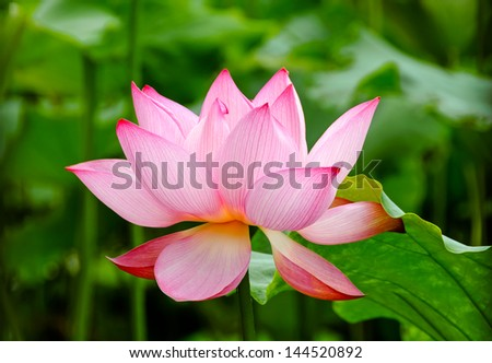 In the summer of the beautiful lotus in full bloom