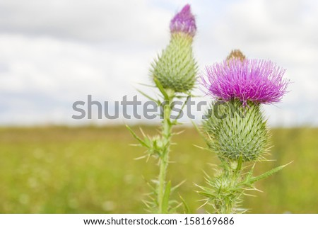 In the summer, the meadow grows prickly burdock - stock photo