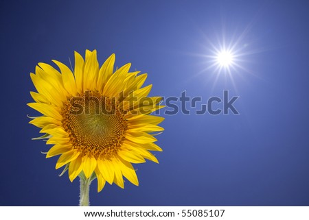 In the sun direction, sunflower