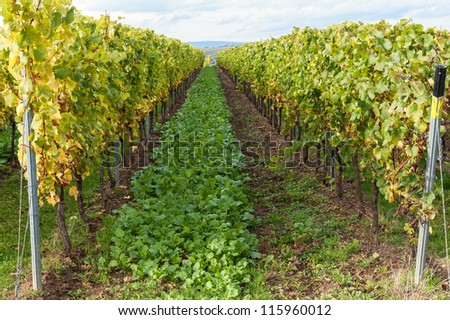 In the vineyards - stock photo