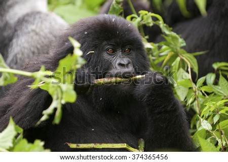in the virunga park, a small mountain gorilla eats twigs with their families