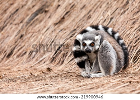 In the zoo lives a Ring-tailed lemur - stock photo