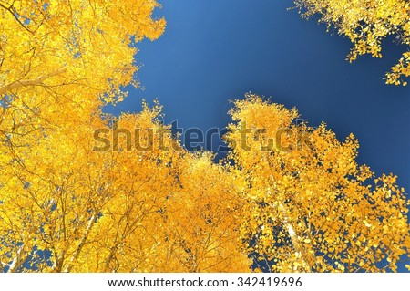 In this vertical photo, the golden yellow fall leaves of the canopies of a grove of Aspen trees surround a clear patch of blue sky. - stock photo