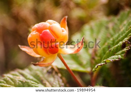 in tundra on Kamchatka ripens the cloudberry - stock photo