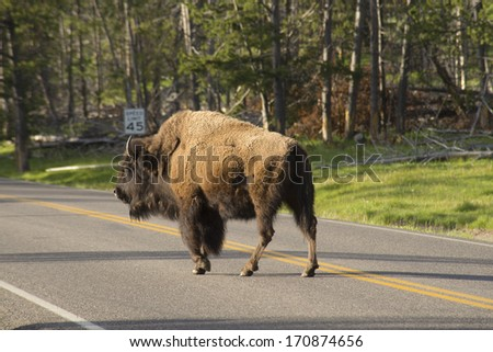 In Yellowstone National Park, a Bison crosses the road in front of a speed limit road sign. - stock photo