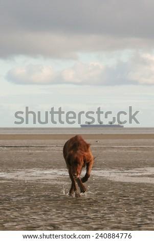 Inca, Red Irish Setter - stock photo