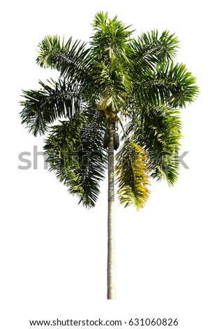 including Asian Palmyra palm, Toddy palm, Sugar palm, or Cambodian palm, tropical tree in the northeast of Thailand isolated on white background