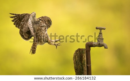 incoming! A little owl coming into land on an old tap - stock photo