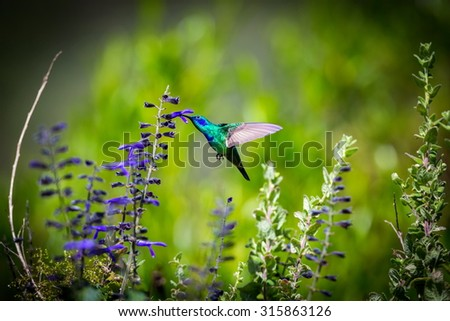 incredibly beautiful Green Violet Eared Hummingbird in the central mountains of Mexico. This is a rare picture of a medium sized hummingbird that is very elusive and shy and is one special bird.  - stock photo