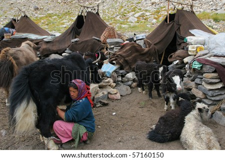 INDIA - AUGUST 31: Tibetian woman milking a yak in tent camp in North India August 31, 2008 in Padum, India
