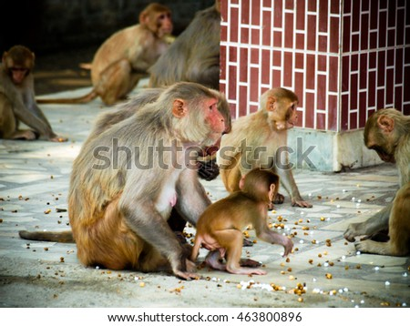 India: Baby monkey with it family in the sacred monkey temple.
