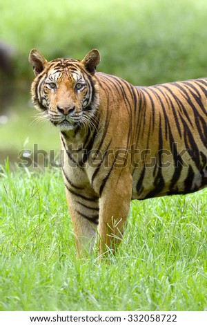 India Bengal Tiger standing in forest