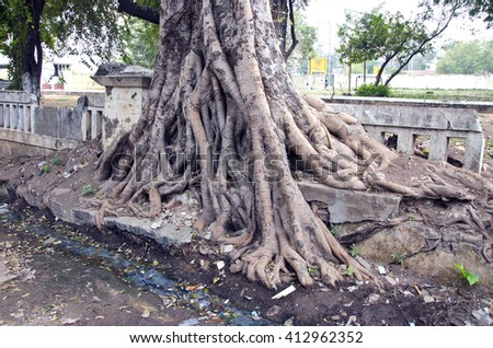 India, Puducherry tree roots by the street road - stock photo