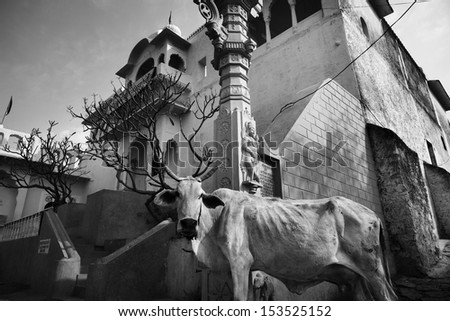 India, Rajasthan, Pushkar, a sacred cow in front of a private building