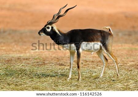 Indian Black Buck Antelope (Antelope cervicapra L.) - stock photo
