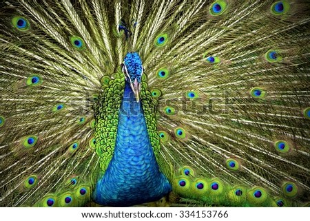 Indian Blue Peafowl - stock photo