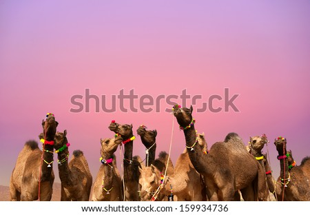 Indian camels in Rajasthan at sunset. Travel background - stock photo