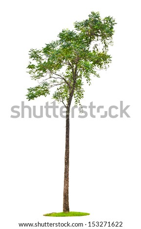 Indian cork tree (Millingtonia hortensis Linn.f) on white background.