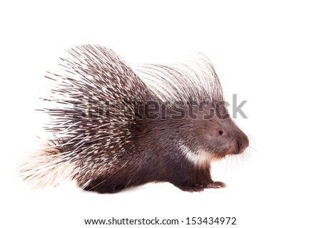Indian crested Porcupine (Hystrix indica) isolated on white background