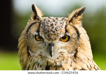 Indian Eagle Owl / Close up portrait of an Indian Eagle Owl (Bubo Bengalensis) - stock photo