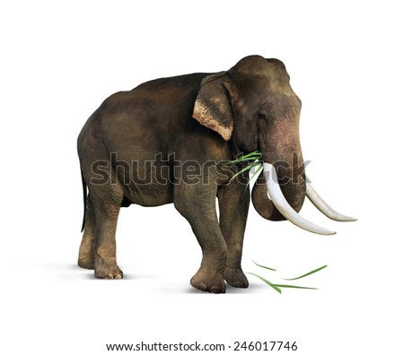Indian elephant eats grass - stock photo